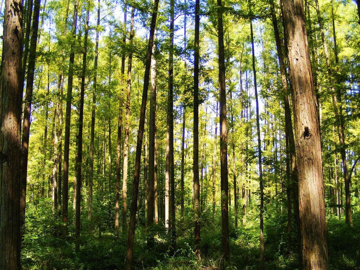杉树林,杉树,,树林,大森林,森林,树,树木,阳光,光线图片