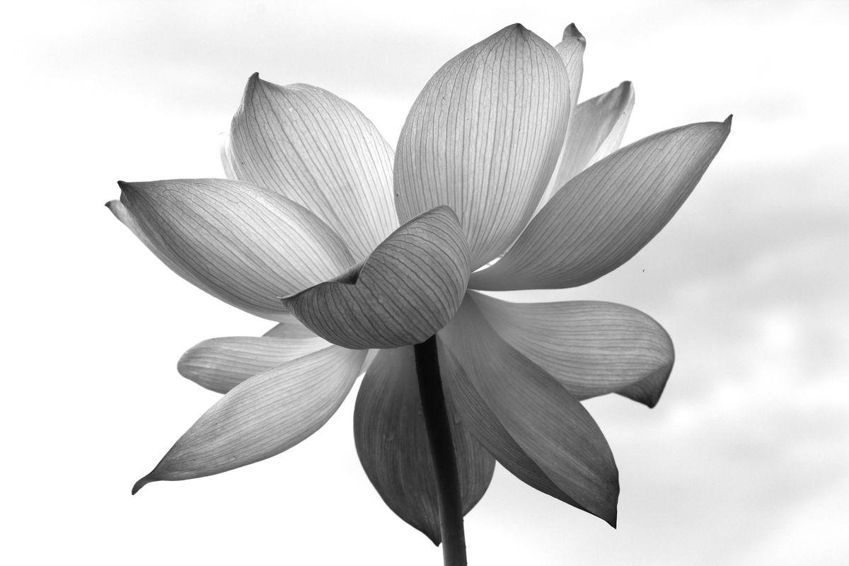 黑白荷花 素描荷花图片