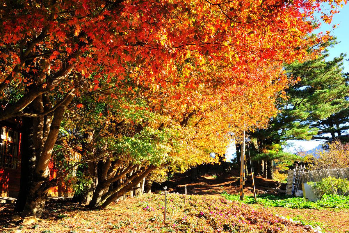 福寿山农场枫红图片