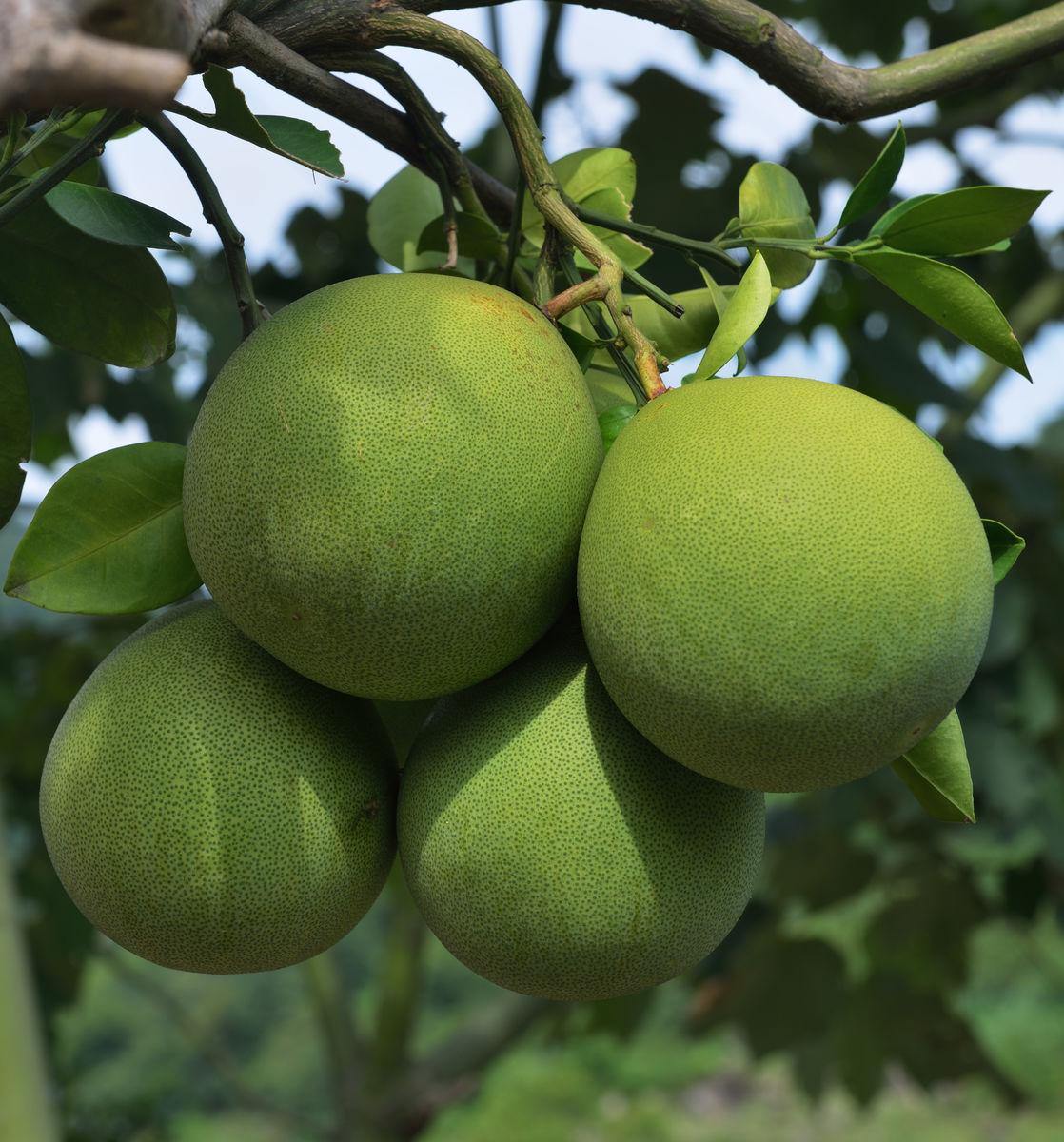 柚 柚子 红心柚图片