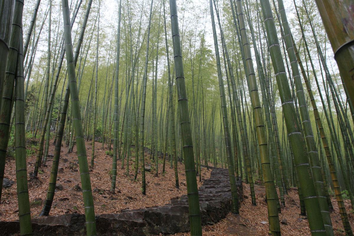 江苏,宜兴,户外,竹海风景区,竹子,竹海,毛竹,竹林,阴天,下雨,旅游,休图片