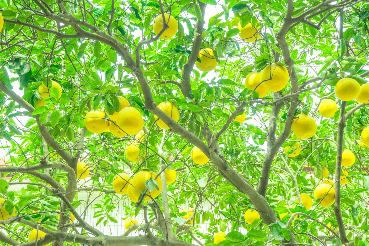 树上的柚子图片
