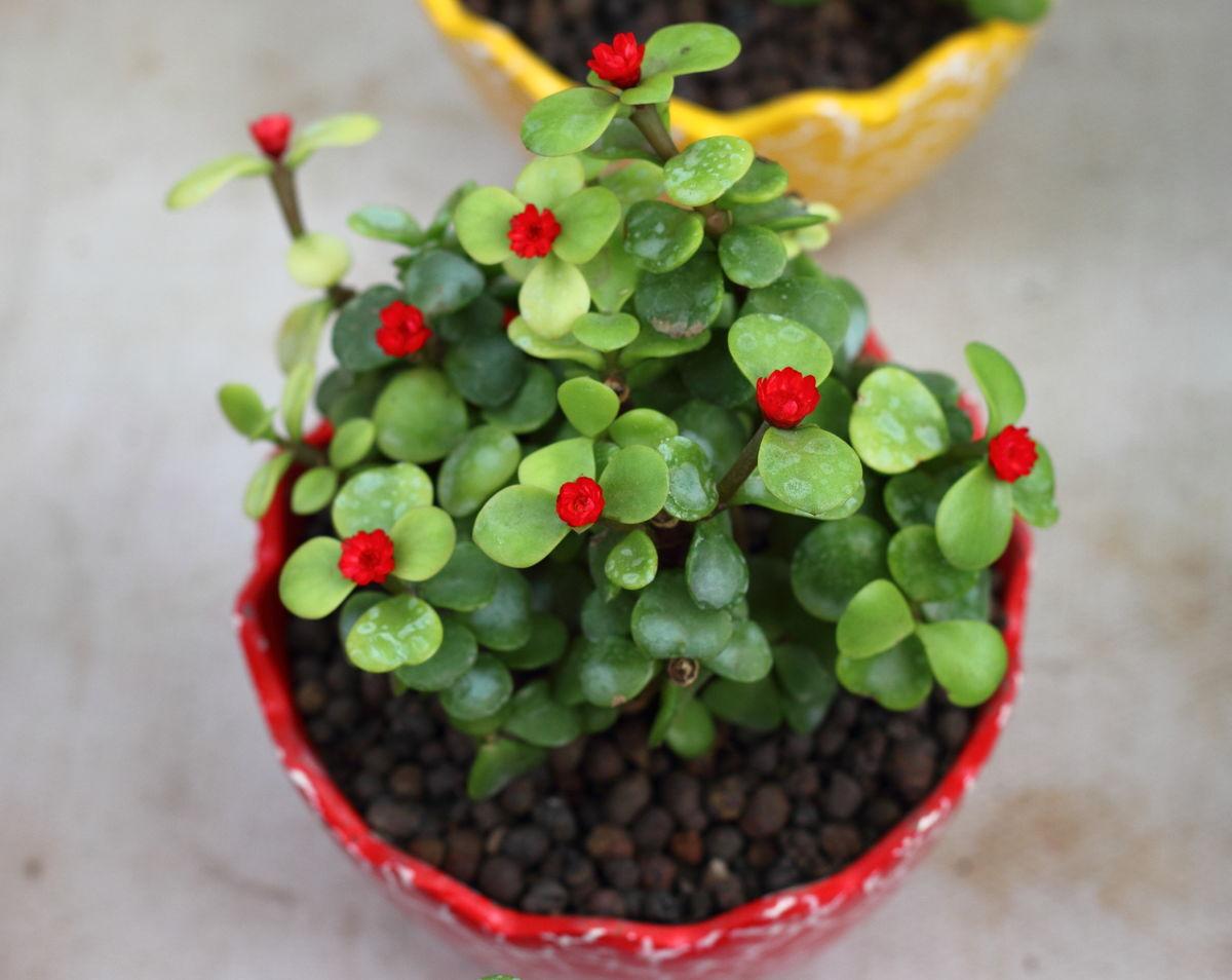 银杏木,小叶玻璃翠,多肉植物,肉质植物,盆栽,室内植物,小花,金枝玉叶图片