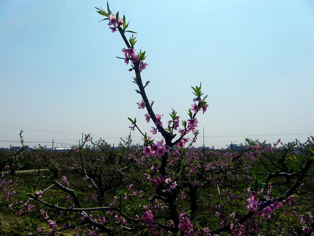 桃花,桃花树,绿叶,天空,摄影图片,自然风景,jpg,480dpi,花草,摄影图片