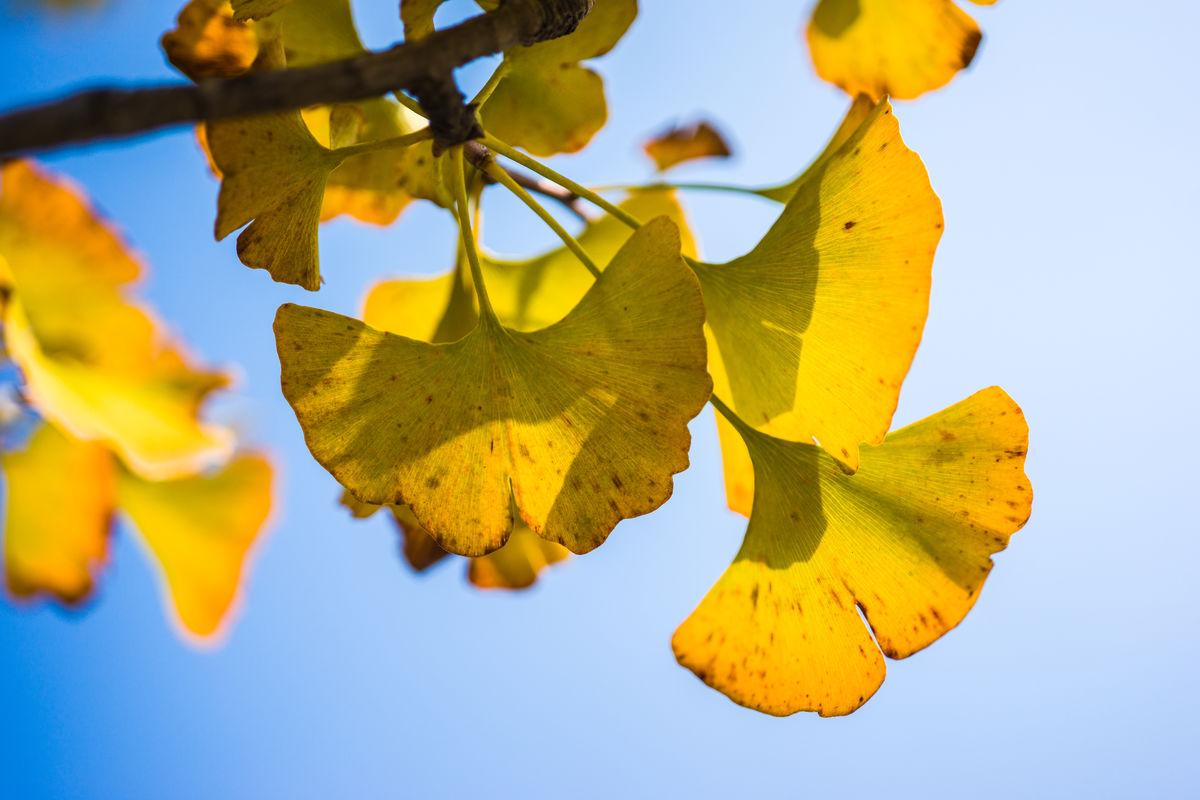 秋天,银杏树,秋天秋景,金黄色,叶子,黄叶,深秋,秋色,色彩斑斓图片
