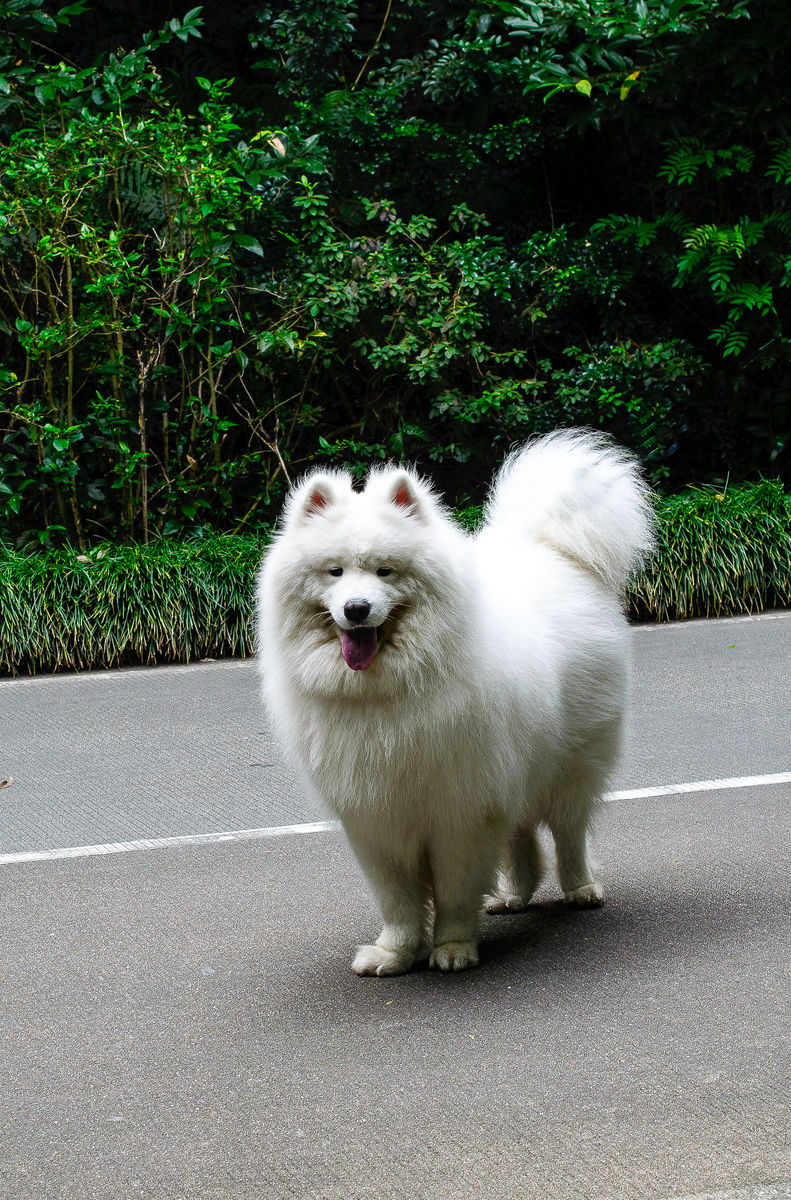 萨莫耶_萨摩耶犬