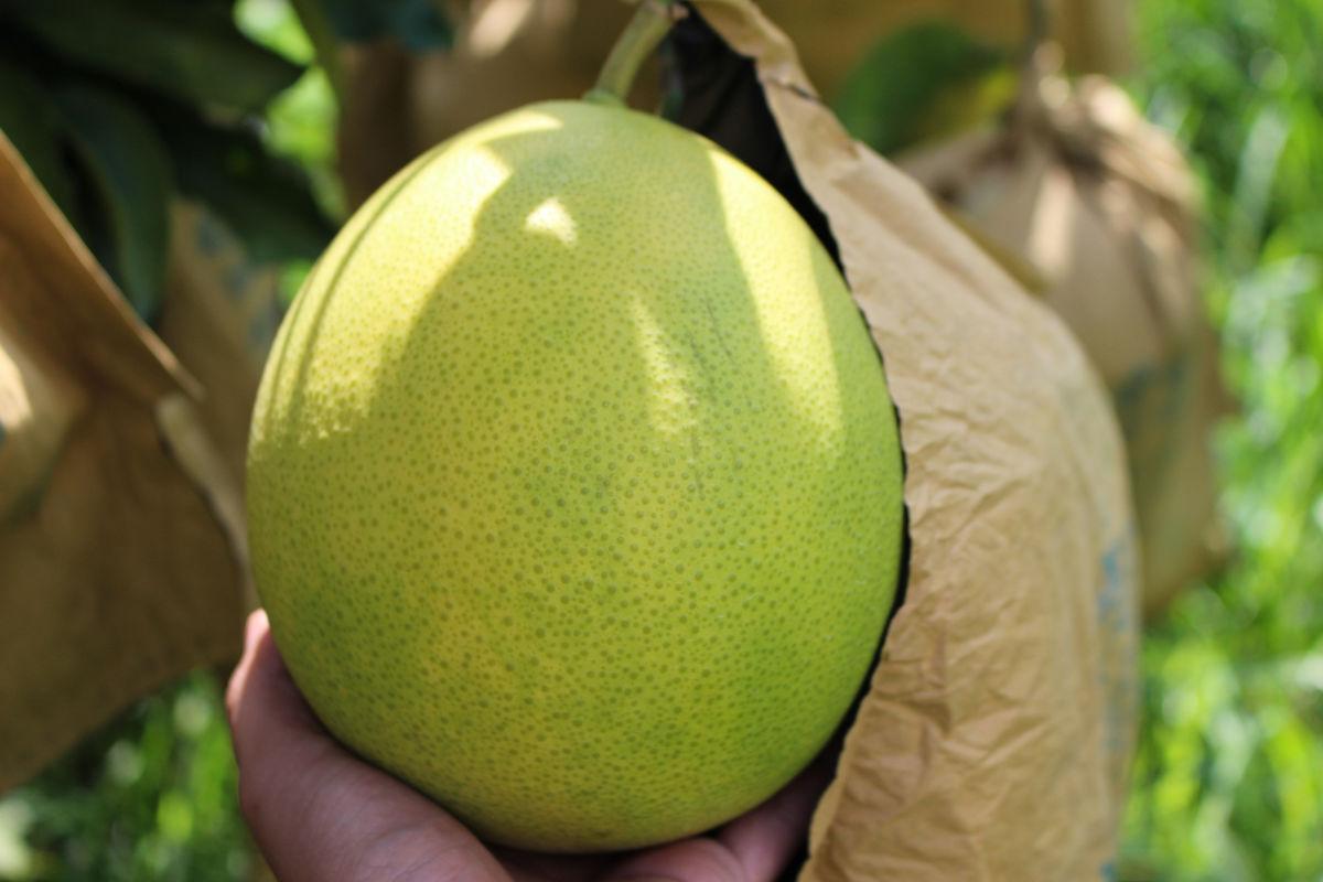 红肉柚子图片图片