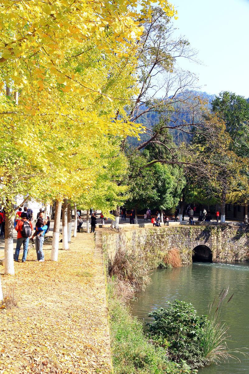 银杏树,落叶,小桥,池塘,乡村,农村,休闲,旅游,乡村风光图片