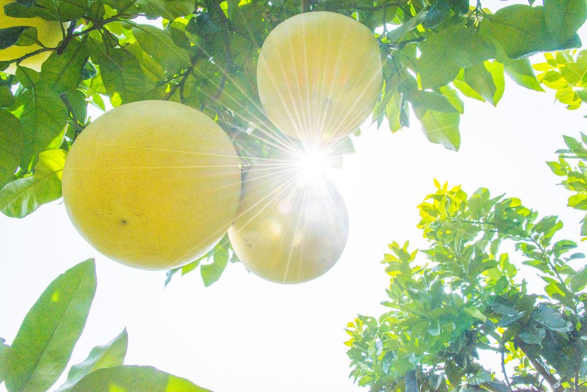 阳光柚子图片