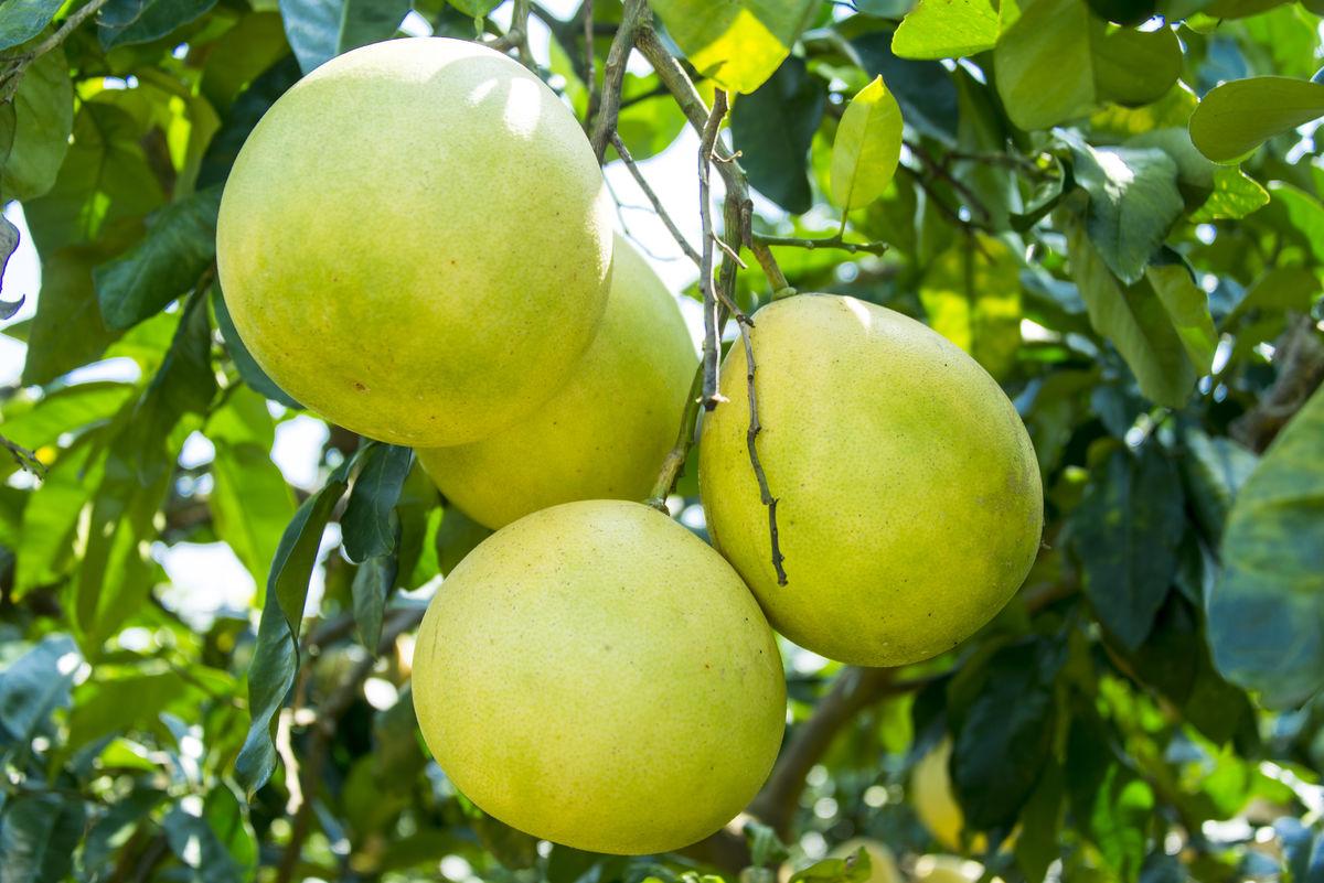 柚子成熟了图片