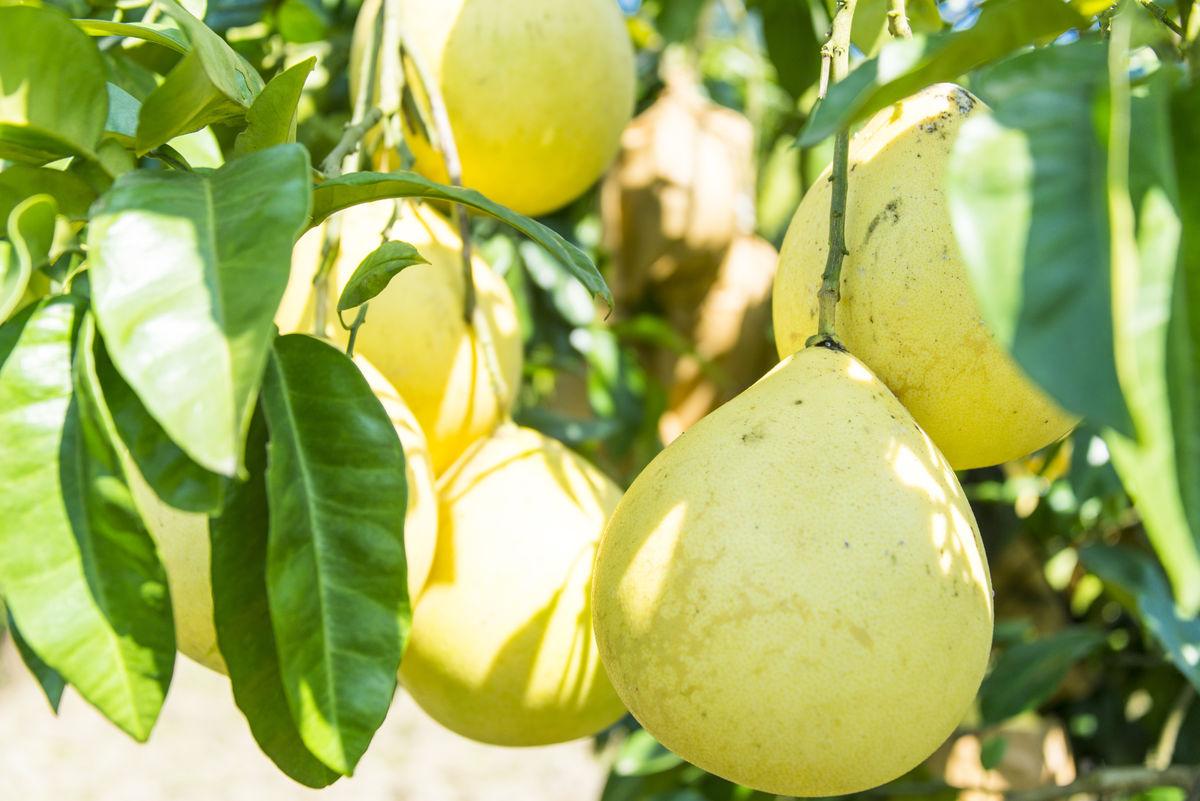 柚子树叶图片