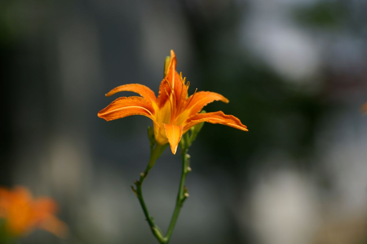 金针��ऺn(z&�_hemerocallis,fulva,萱草科,萱草属,植物,百合科,liliaceae,金针