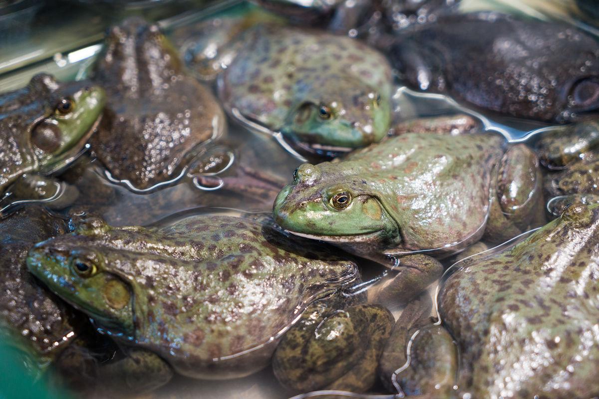 蛙石蛙青蛙蟾蜍癞蛤蟆馋嘴蛙川味牛蛙养殖饲养超市田鸡