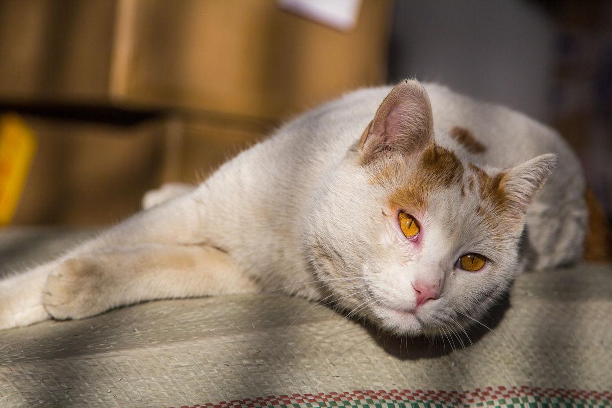 白色可爱睡觉懒散猫咪图片