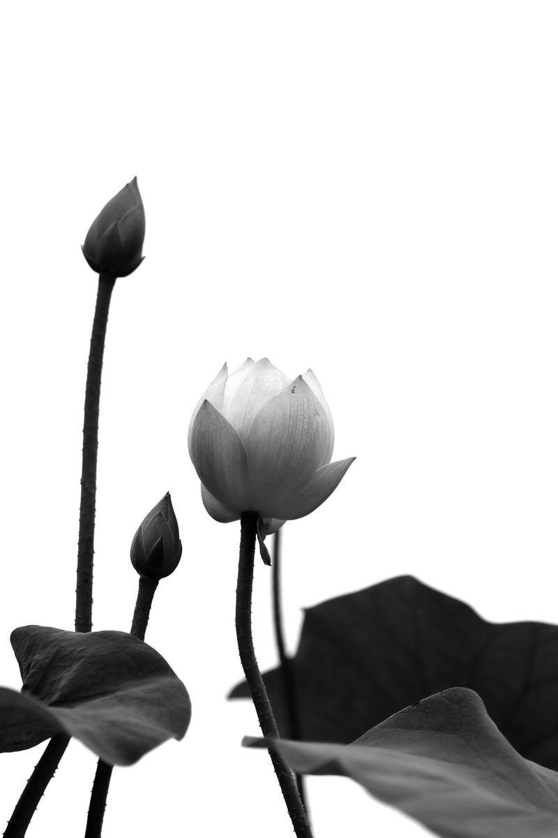 黑白荷花高清大图图片