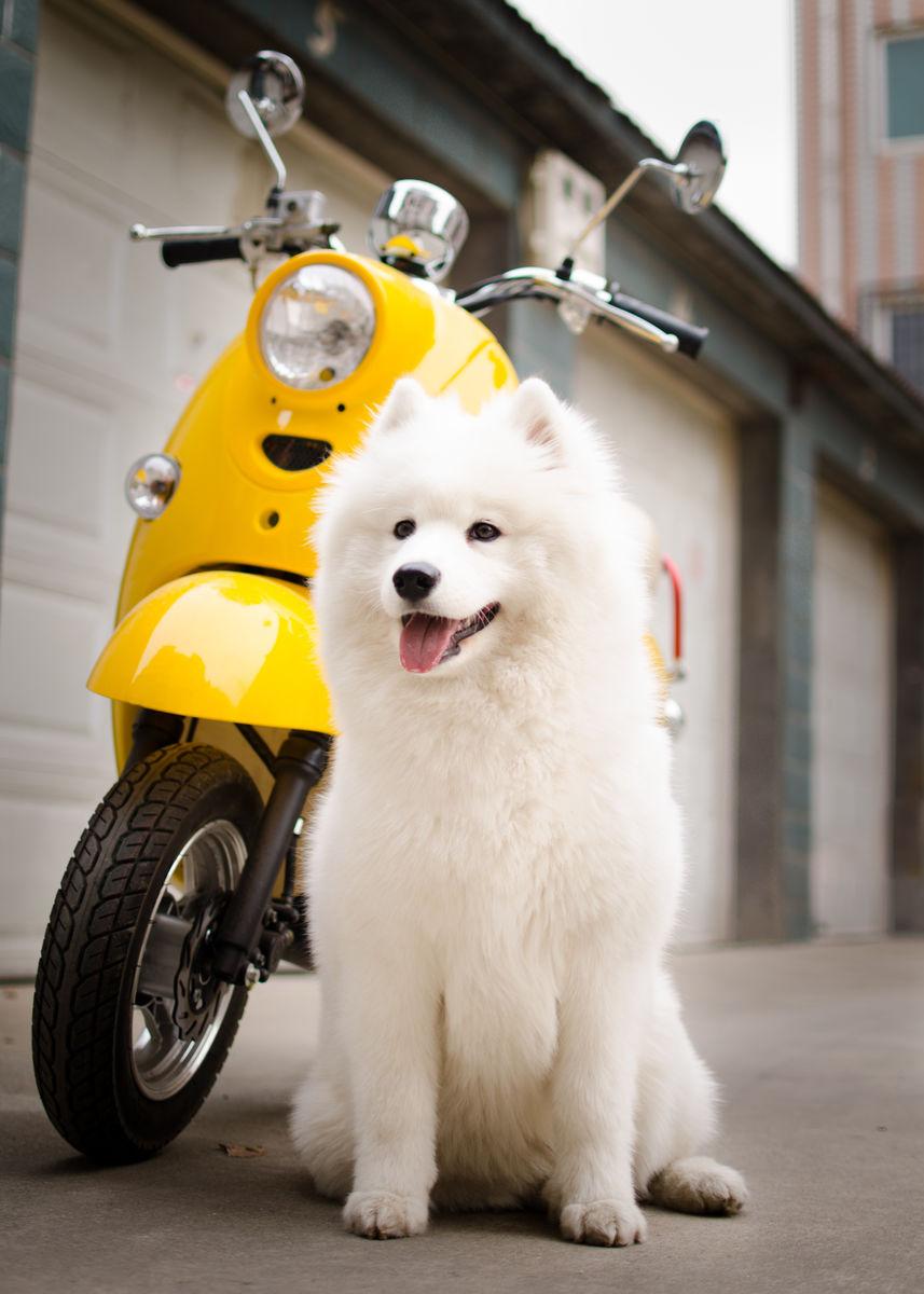 萨莫耶_samoyed萨摩耶犬