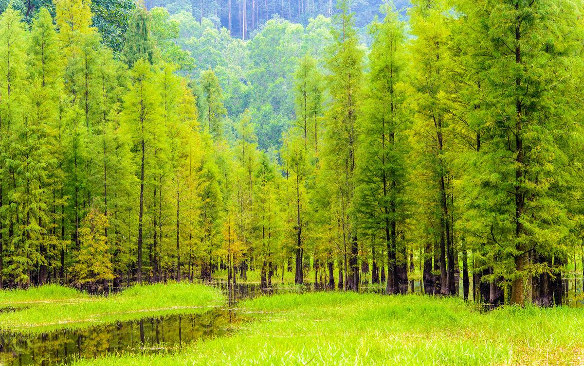 小树林,植树造林,水杉林,阳光树林,阳光草地,草地风光,绿树林,绿草地图片