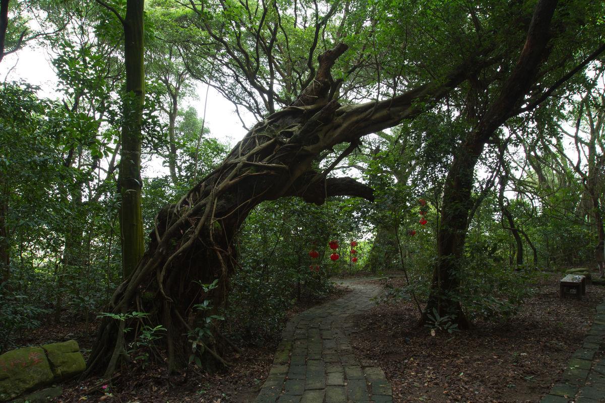 红豆树_百年,相思树,红豆树,红豆,相思,植物,摄影,树龄,老树,象征,老龄,古树