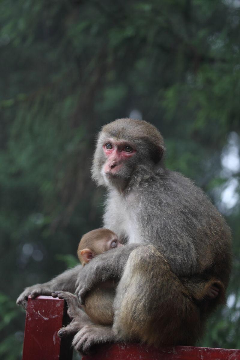 猴子 幼猴睡在母亲怀中图片