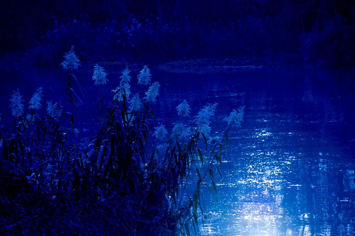 蓝色月光侦探礹.+y��_芦苇,苇子,苇塘,苇丛,苇,宁静,静静地,静悄悄,蓝色,月光,蓝色月光