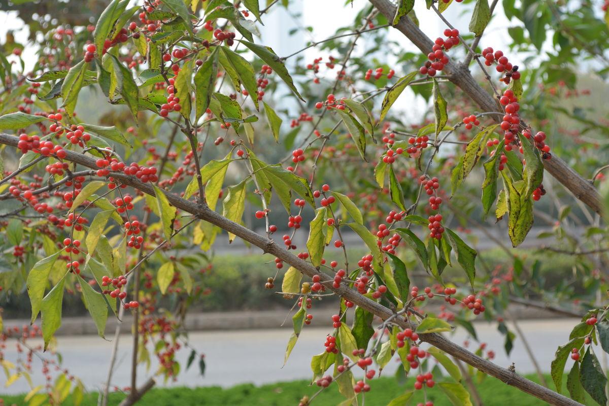 红豆树_红豆树