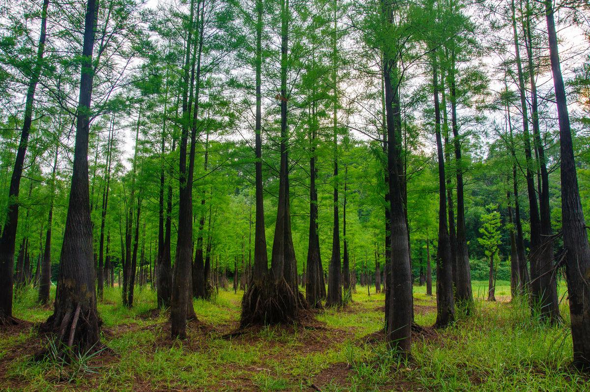 风景,树木,灌木丛,水杉,在林中,树林中,森林公园,大森林,森林背景图片
