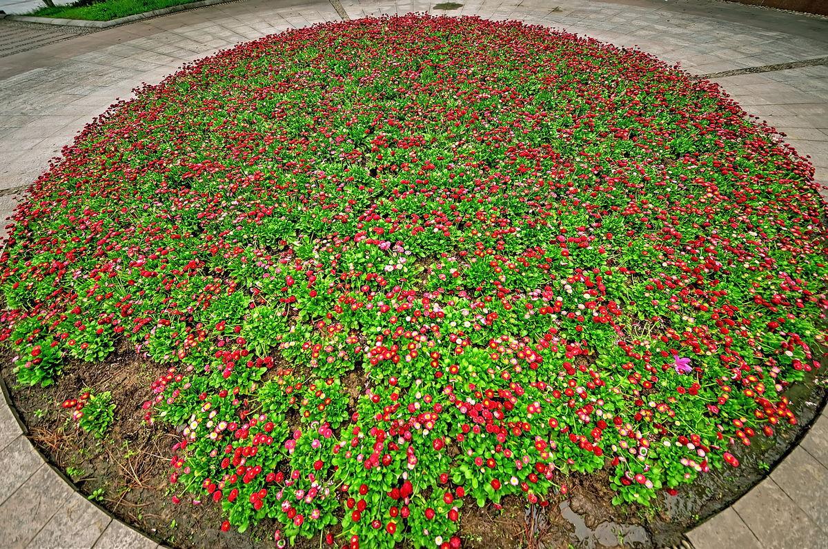雏菊圆形大花圃图片