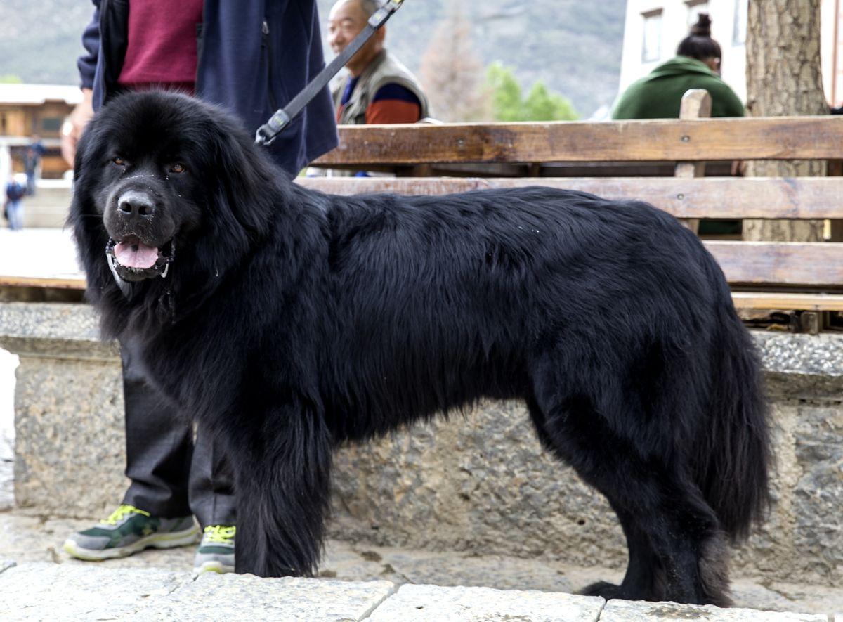 犬,狗,蕃獒,松藩狗,苍猊犬,珍稀犬种,大型犬,大型动物,大型宠物,犬中图片