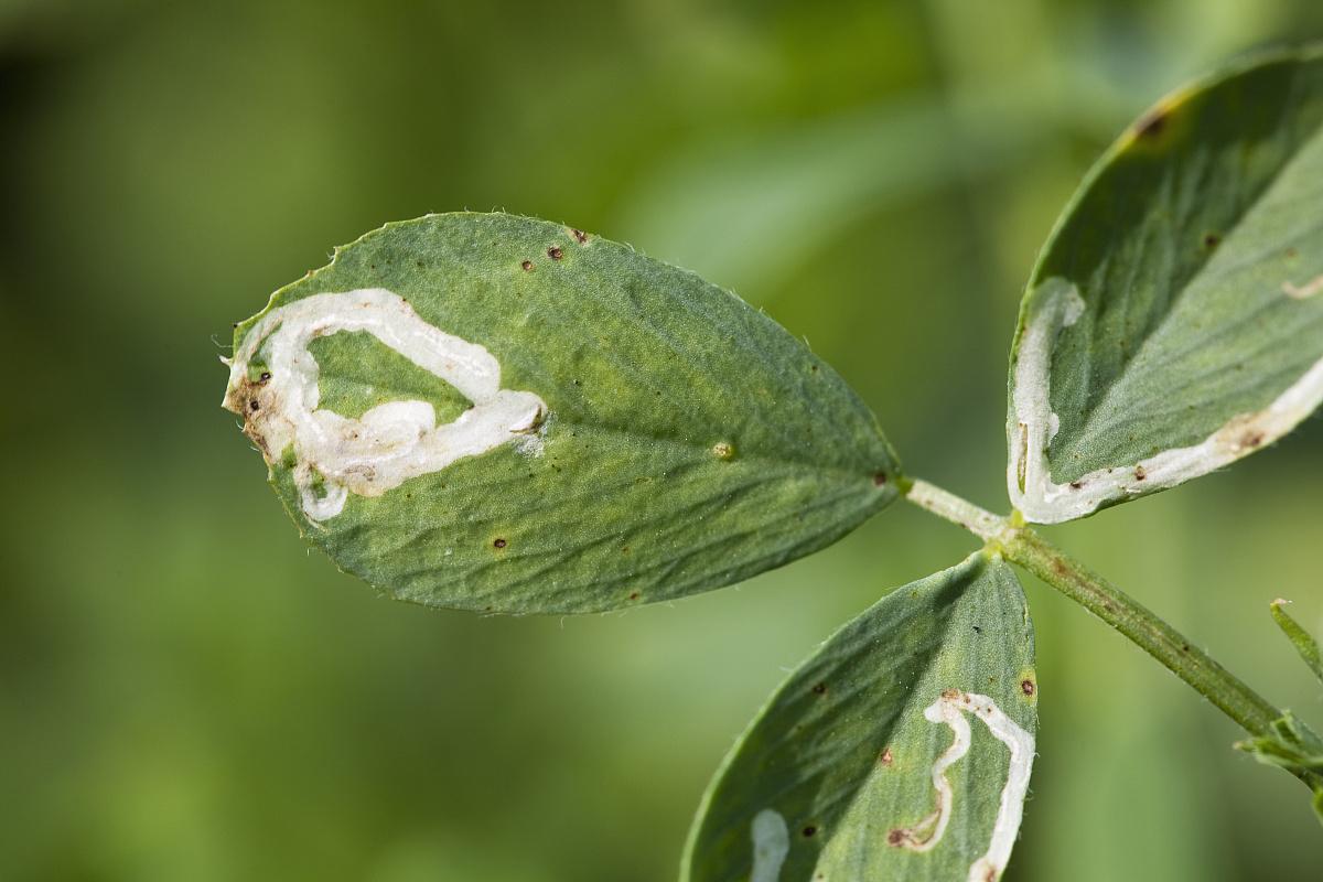 厨余�zamy�m_农业作物的伤害,alfalfa blotch leafminer(agromyza frontella)苜蓿