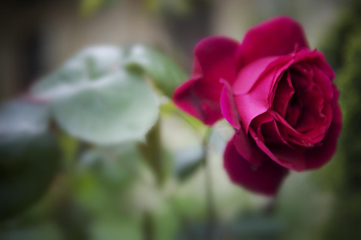 深宫风云之玫瑰_深红色的玫瑰