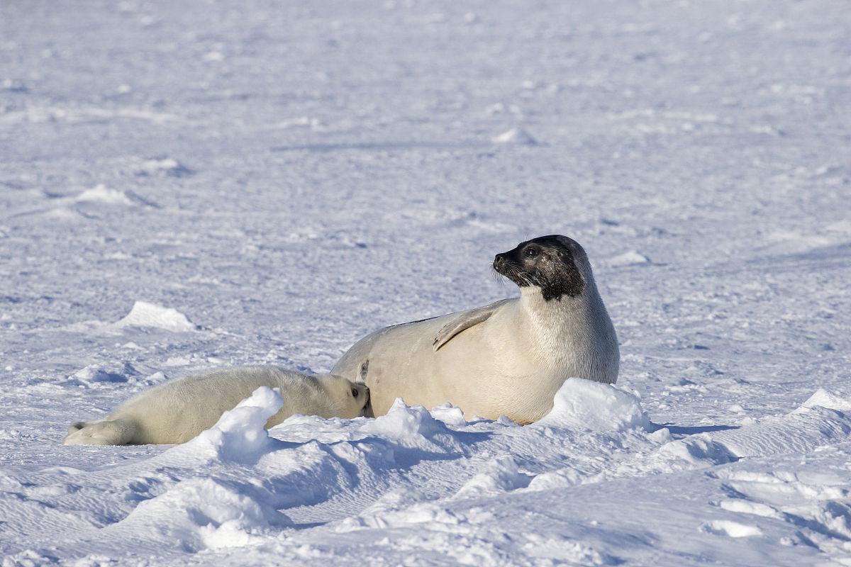 竖琴海豹,pagophilus groenlandicus,女性护理的白色小狗,在冰面上图片