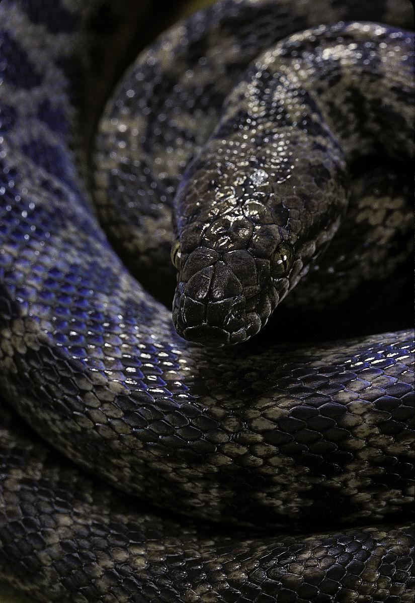 antaresiachildreni(python)