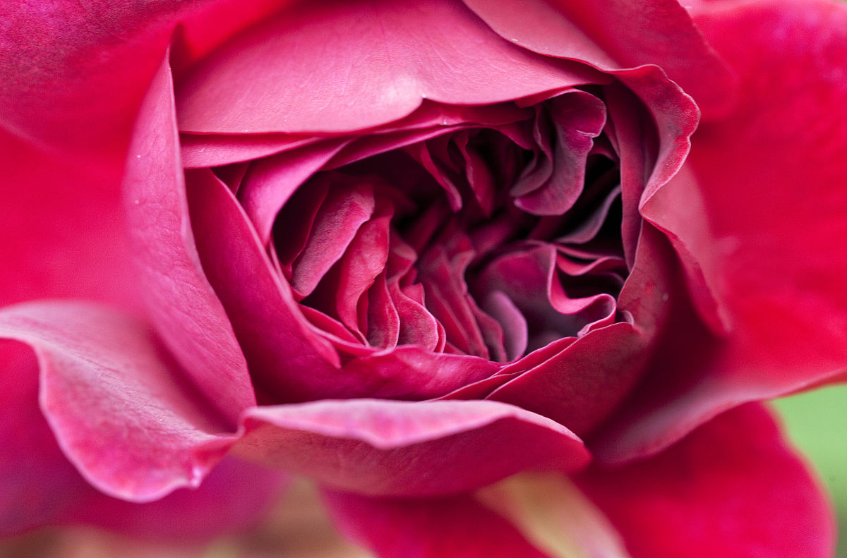 深宫风云之玫瑰_打开深粉红色玫瑰花形玫瑰(罗萨)\'威廉·莎士比亚2000 \'顺式.莎士比亚