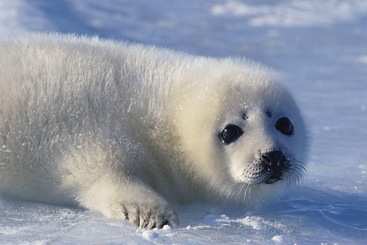 竖琴海豹小狗躺在冰上.图片