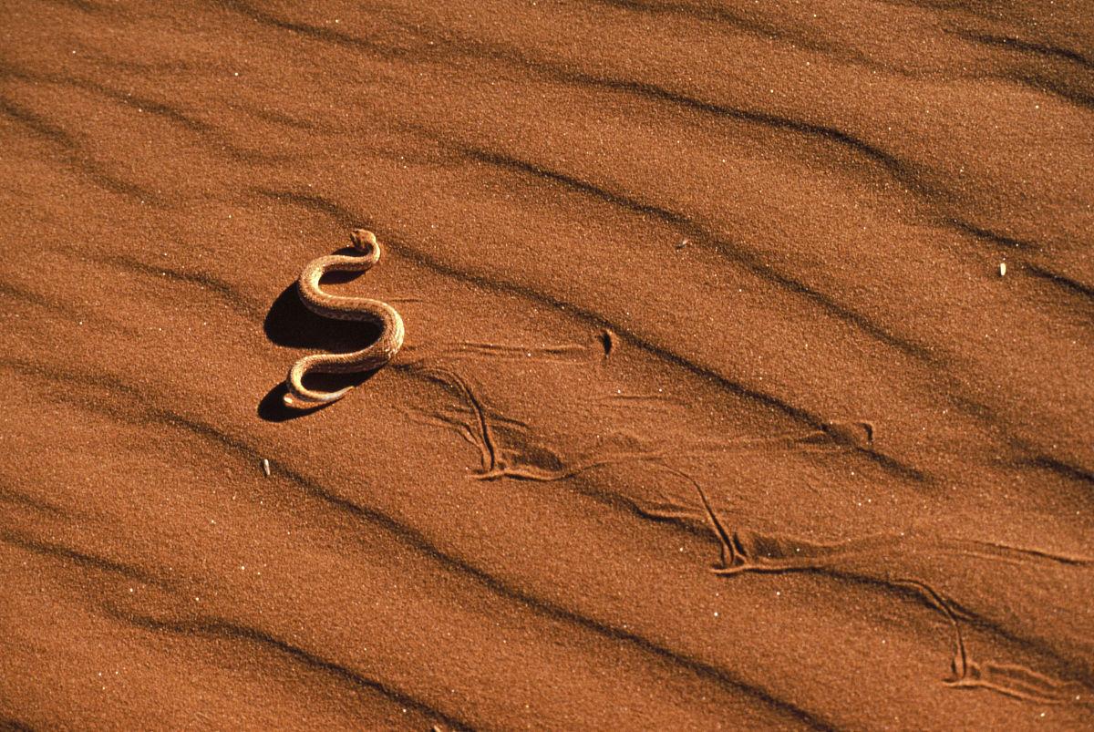 愹��9h��i�yi�_peringueyi蝰科.纳米布沙漠,纳米比亚.