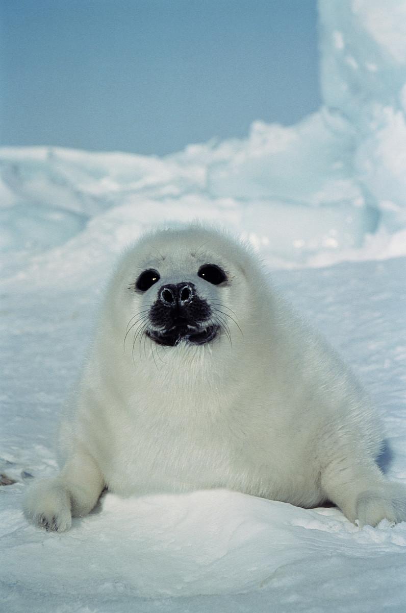 竖琴海豹(海豹groenlandica)的小狗在冰上图片