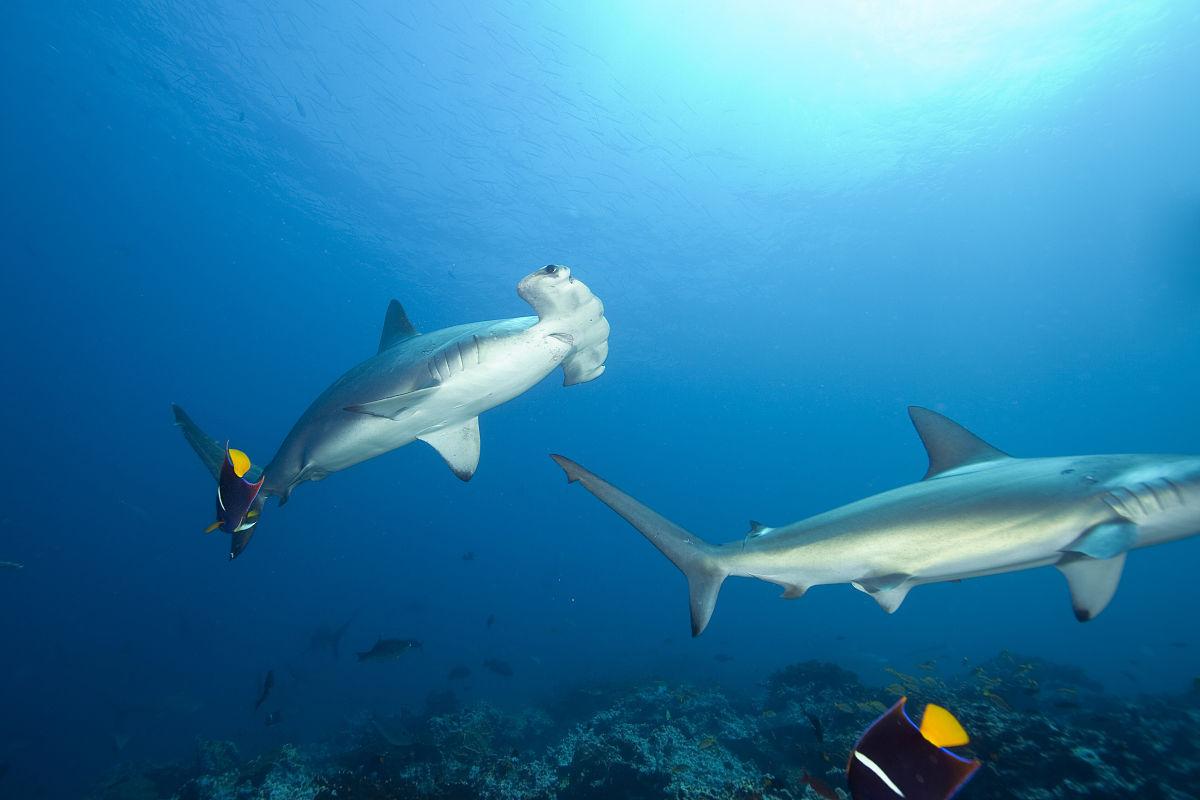 �~��M�_双髻鲨,sphyrna lewini,malpelo,东太平洋,哥伦比亚