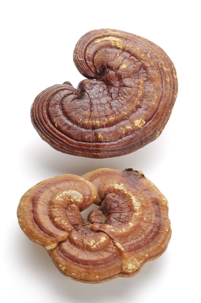 Xylanase Of Ganoderma Lucidum