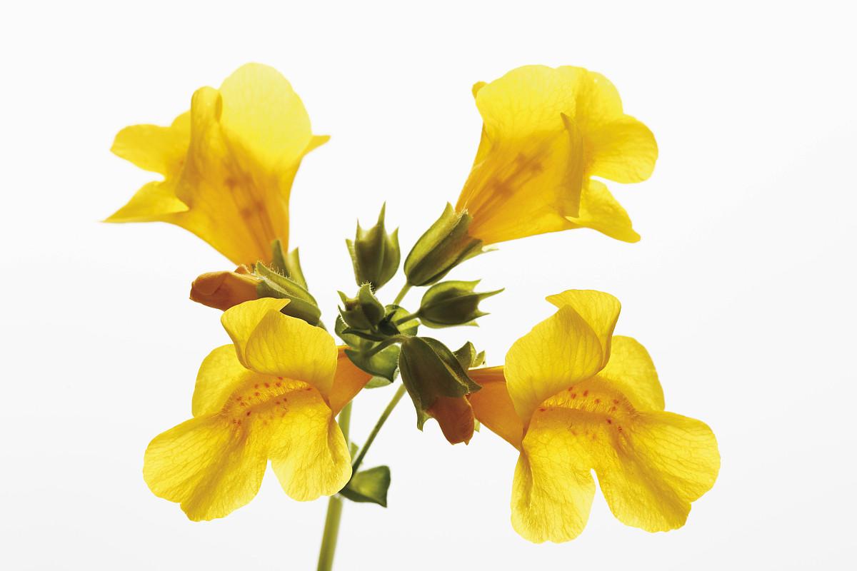 花猴子_黄色的猴子花(mimulus luteus)