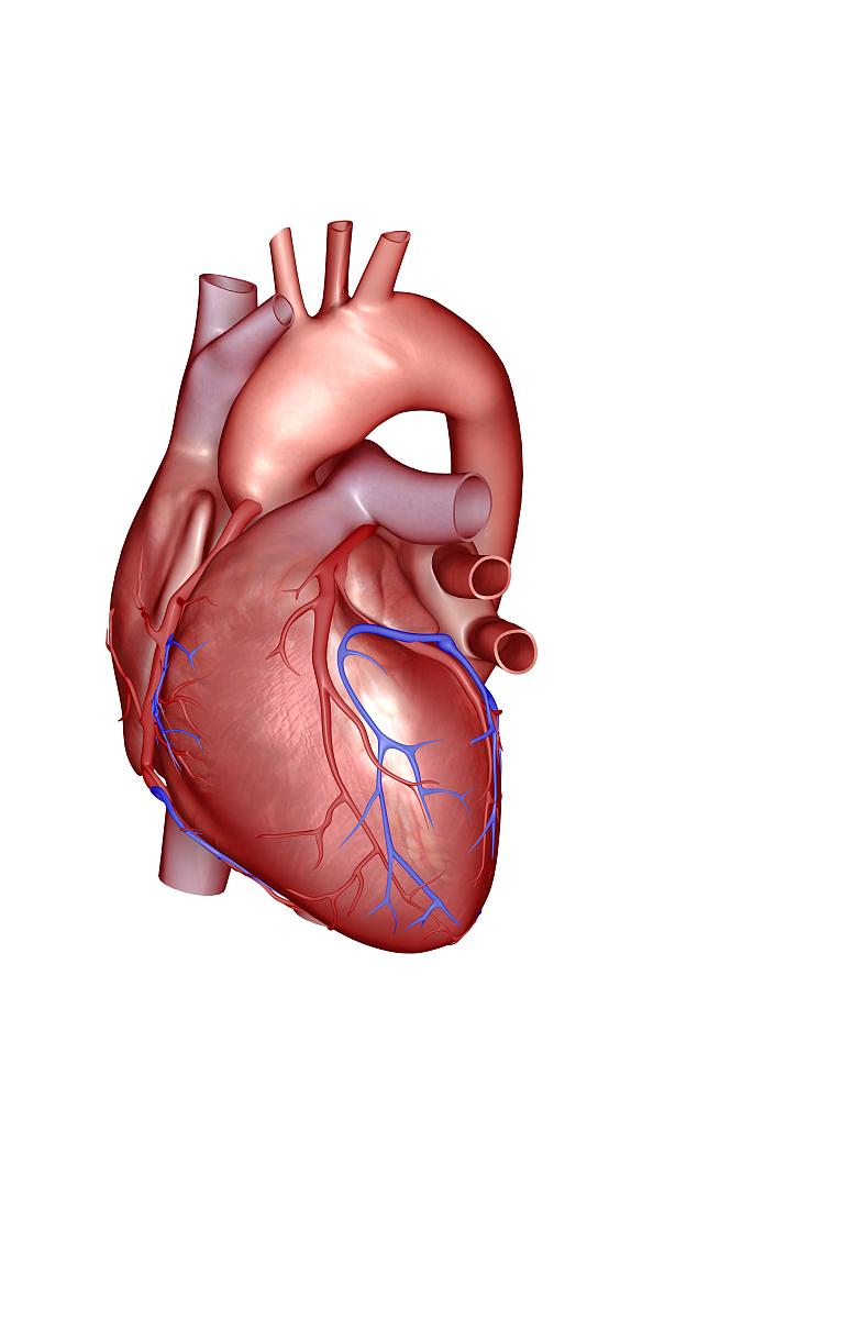 侧面视角,人体内脏器官,人类心脏,人类肺脏,人体动脉,动脉,插图画法图片