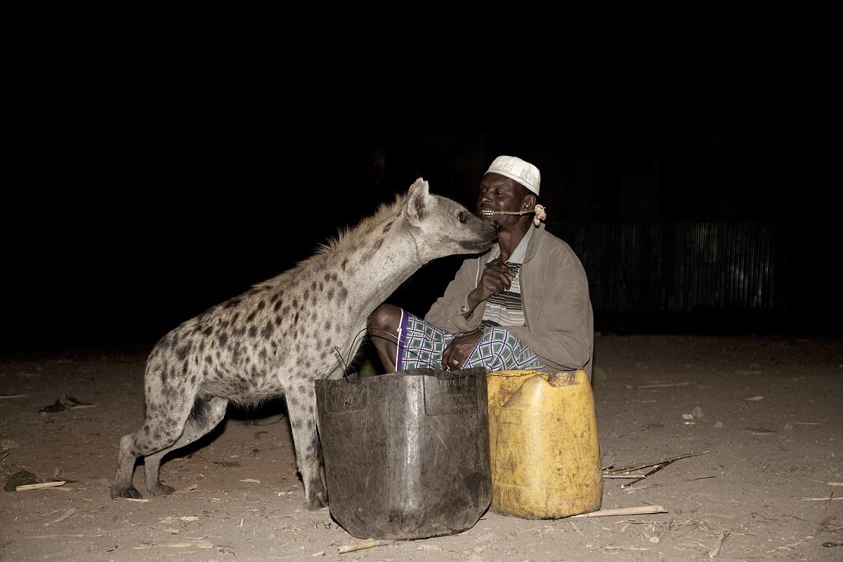 哈勒尔鬣狗人吃生肉的野生鬣狗.