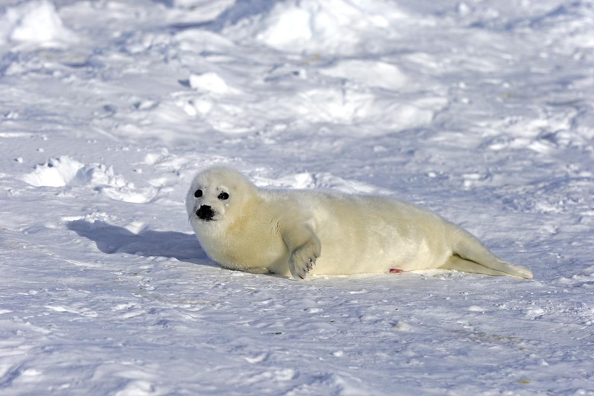 竖琴海豹或马鞍海豹pagophilus groenlandicus格林兰,phoca,小狗在图片