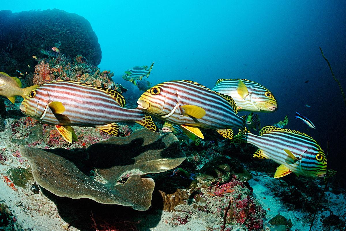 南�zd�9����+�.�9.b:gh���_东方细鳞,plectorhichus vittatus,可可角组,南马累环礁,马尔代夫