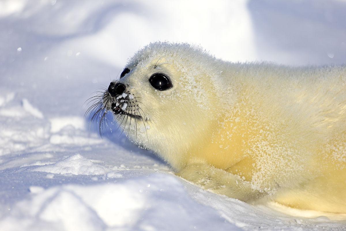 竖琴海豹图片