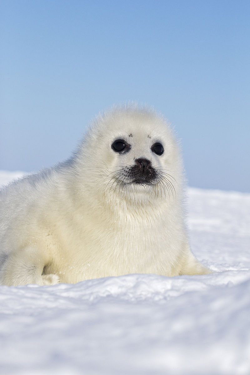 竖琴海豹,pagophilus groenlandicus,白色的小狗,在冰面上,圣劳伦斯湾图片