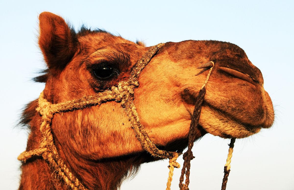 骆驼有几层眼睫�_农业,印度文化,动物主题,马勒,绳子,哺乳纲,一只动物,骆驼,动物眼睛