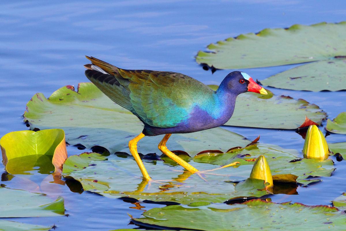 hy777兽幼片_紫水鸡,porhyrio martinica,采水百合片.