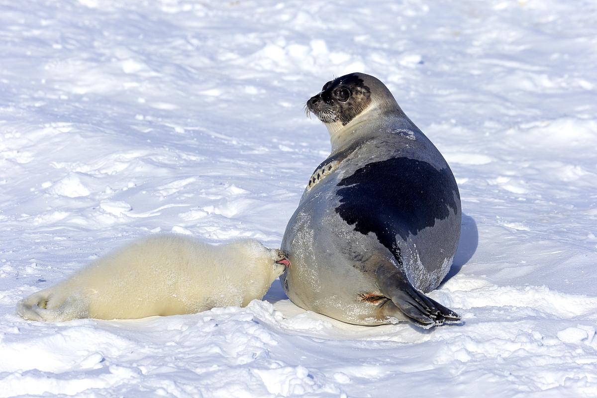 竖琴海豹或鞍纹海豹- pagophilus groenlandicus,phoca格林兰,成年图片