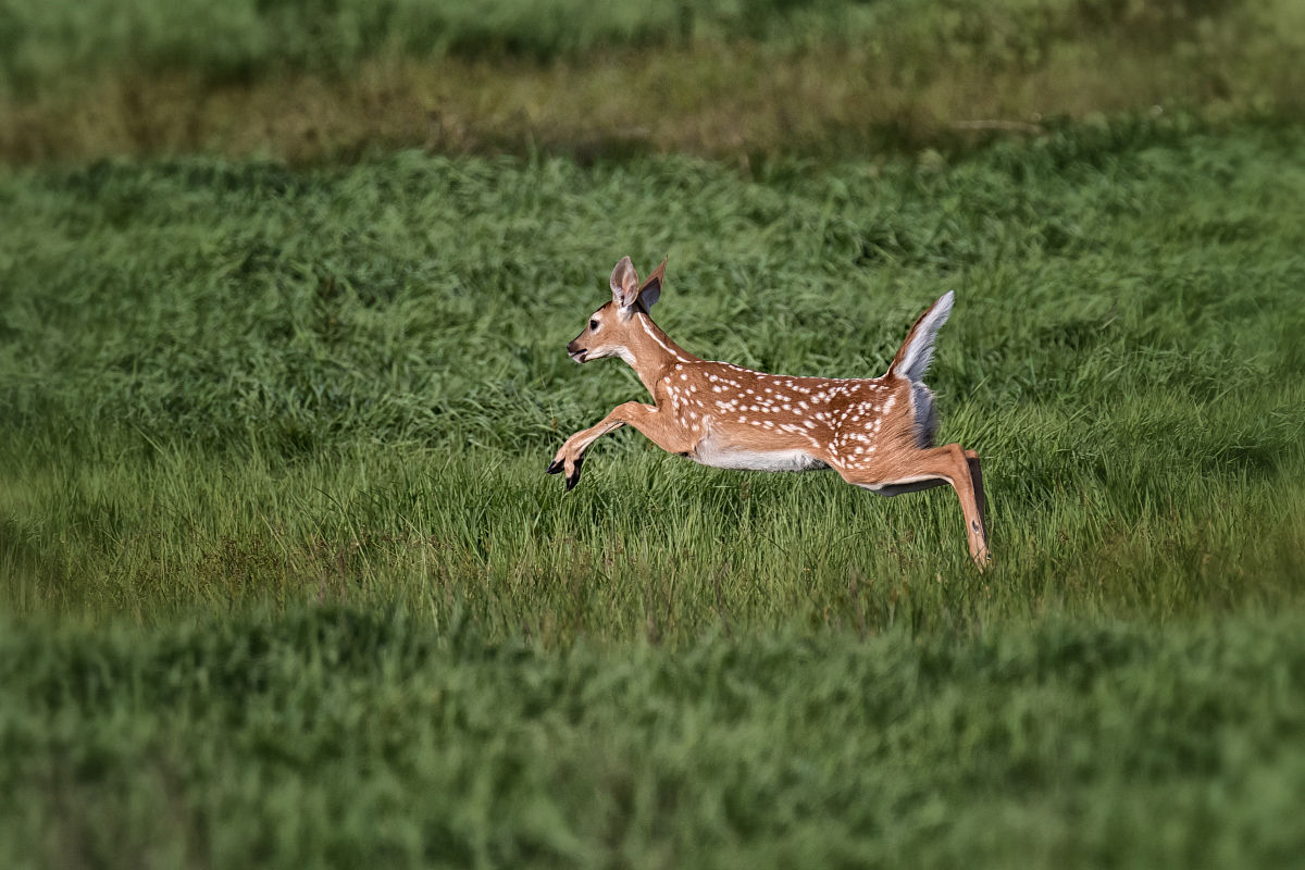 奔跑的小鹿图片