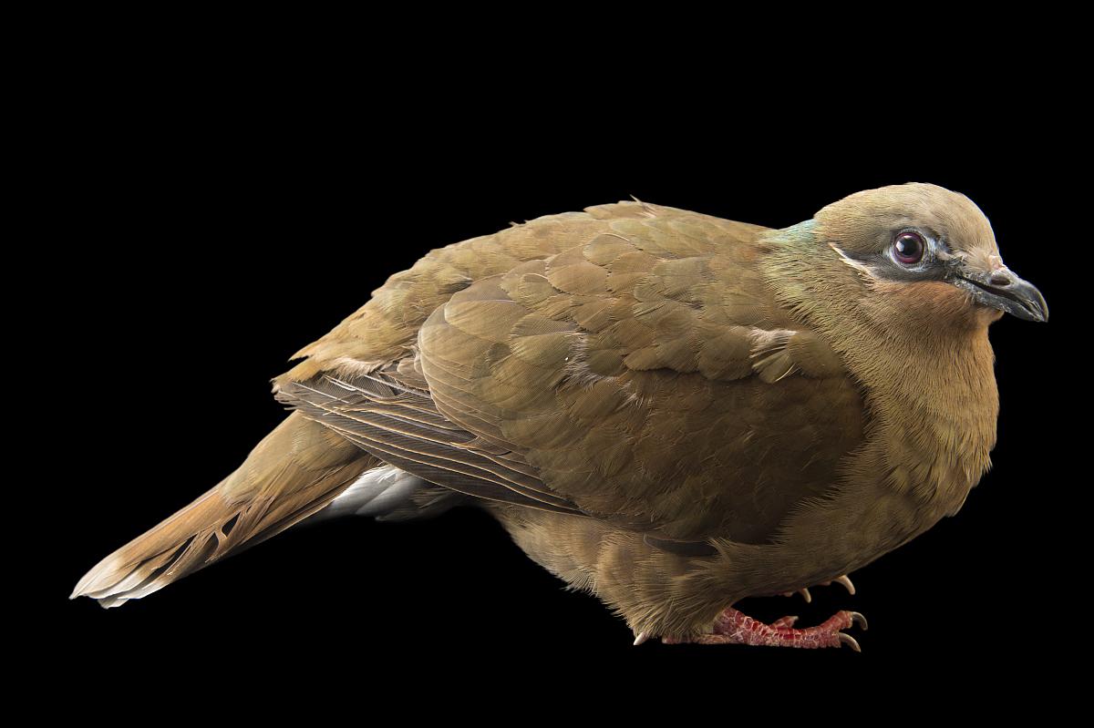 白耳棕色的鸽子,phapitreron leucotis,在比尔森动物园.图片